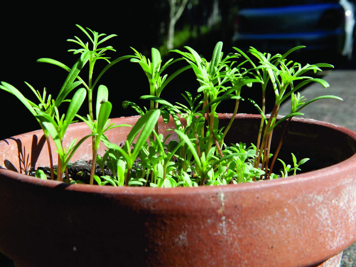 Seedlings in a terracotta pot